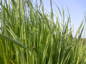 Avena sativa (oats) crop